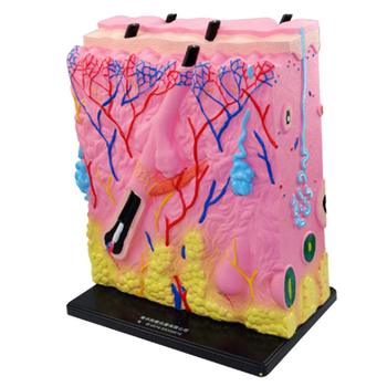 Human Skin Model Structure Medical Anatomical Model for Biology Learning School Teaching Tool Learning Display Lab Supplies