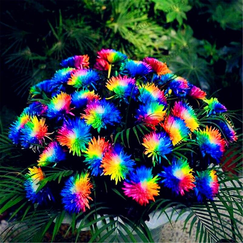Laagste prijs! 200 stks / zak Rainbow Daisy Flores, chrysanthemum plantas, Bonsai Bloemenplank, mooie potplanten voor thuis ...