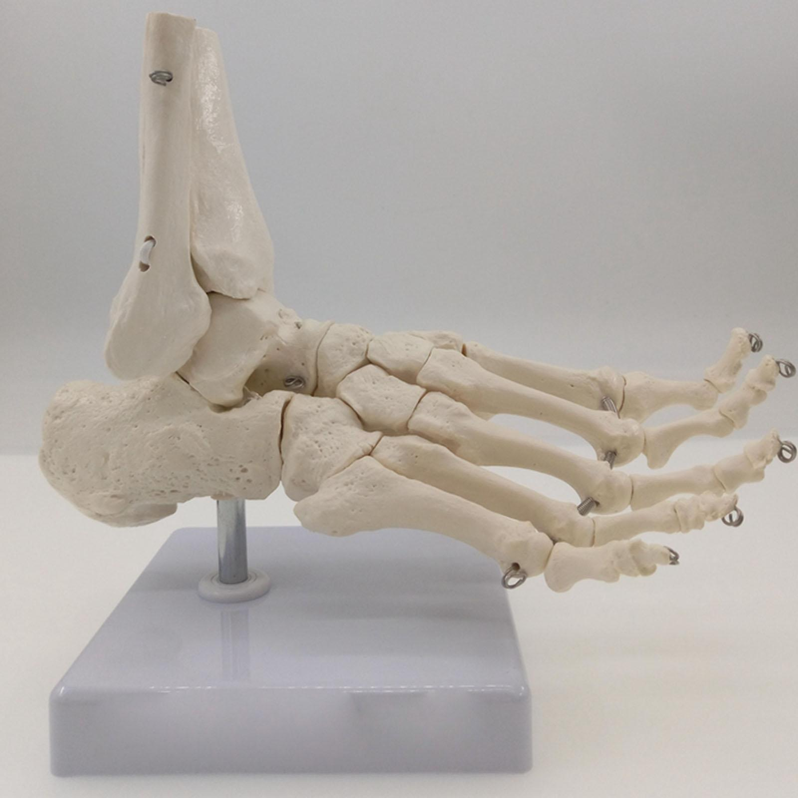 Foot and Ankle Joint Functional Anatomical Skeleton Model Medical Display Teaching School Life Size Teaching Resources image