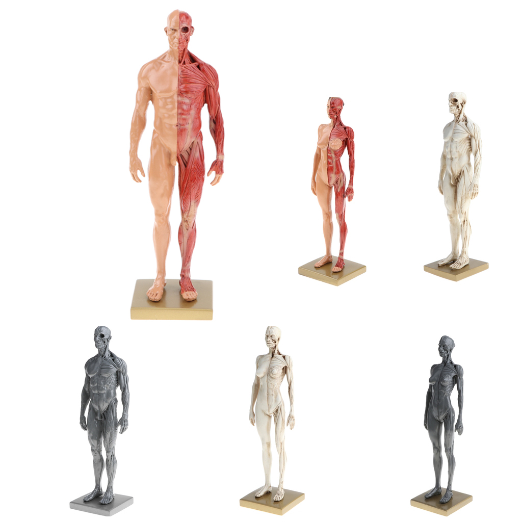 30cm Height Male Female Anatomy Figure Superficial Muscle Anatomy