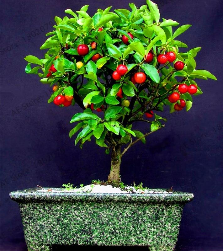 Black Cherry Bonsai Cherry Tree Bonsai Tree