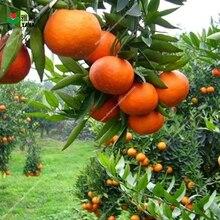 10 Pcs/bag High yield Orange plant Edible Fruit Bonsai Tree Healthy Food