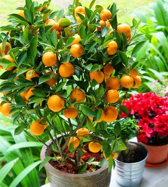 Fruit Bonsai Dwarf Standing Orange Tree Flores Indoor Plant In Pot Garden Decoration