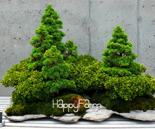 Time-Limit!!50 juniper bonsai tree potted flowers office bonsai purify the air absorb harmful gases,#U9EJ96