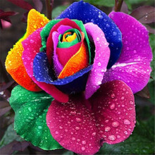 100pcs plants Rare Holland Rainbow Rose Flower Lover Multi-color Plants Home Garden rare rainbow rose flower plants(China)