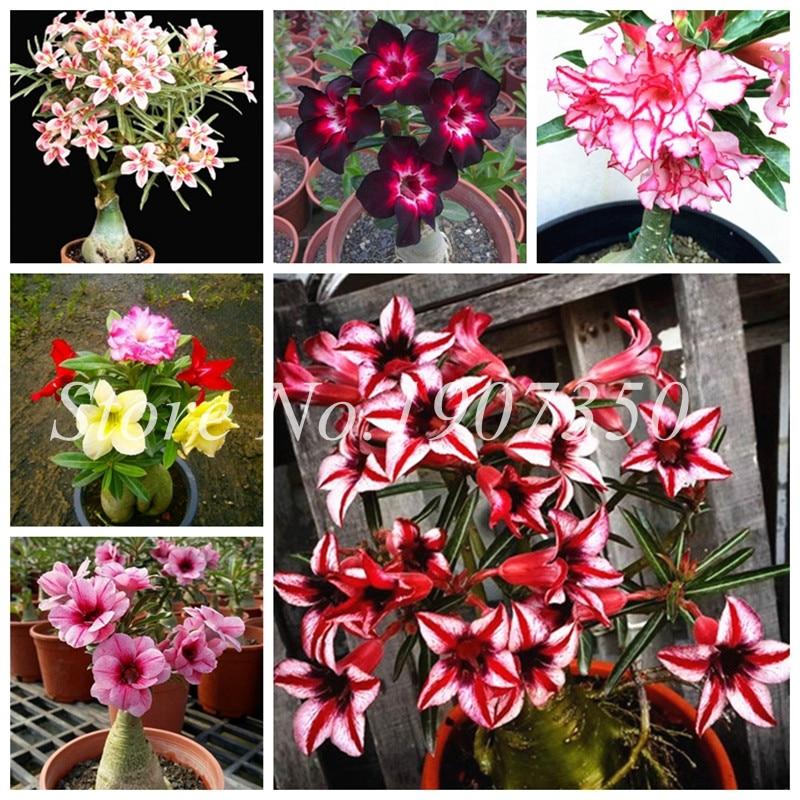 Real 10 Different Color Varieties Of Desert Rose Flower Bonsai Indoor Potted Plants Adenium Obesum Bonsai Garden Courtyard 1 Pcs