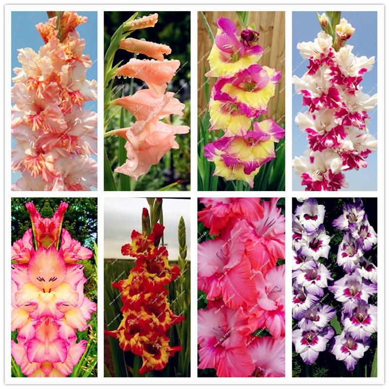 PC 50 Raro rayas gladiolo jardín plantas flores orquídeas flores gladiolos bonsai planta gdadensensis alta tasa de supervivencia