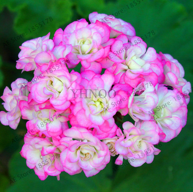 Best-Selling!African rose geranium Plant, 10 Pcs / pack, bonsai garden pelargonium light pink ball flower Plantas,#UDVC1W