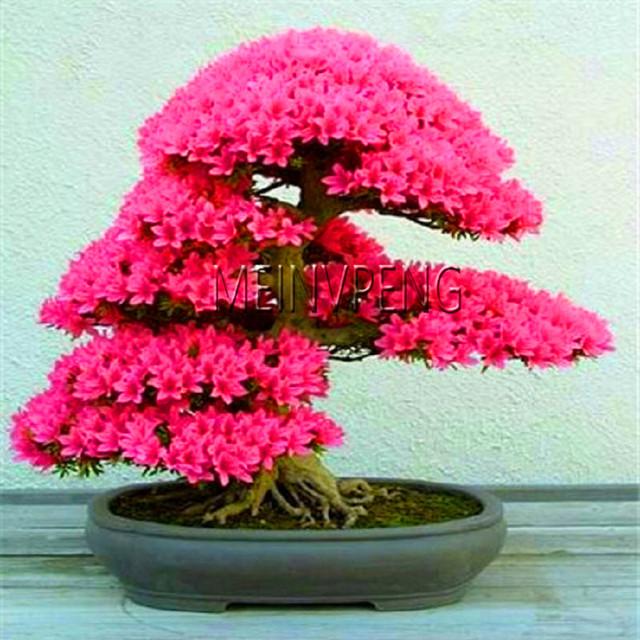 Loss Promotion!rare japanese sakura Plantas cherry blossom Flores Bonsai plants for home & garden 10 Planten,#SF4MQE