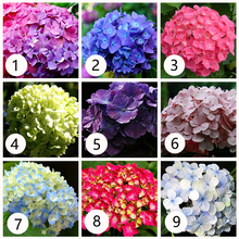 Hydrangea bonsai 9 colour  Flower for plant Bonsai Viburnum potted home & garden 20pcs/bag