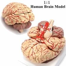 1:1 модель человеческого мозга в натуральную величину с артериями анатомический медицинский орган, анатомия школьная модель образовательная медицинская наука обучение