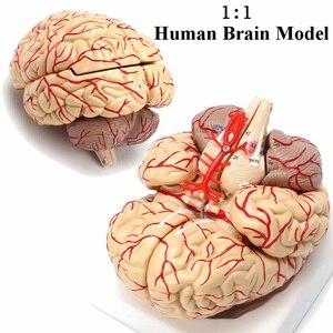 1:1 Life Size Human Brain Model With Arteries Anatomical Medical Organ Anatomy Model School Educational Medical Science Teaching(China)