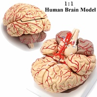 1:1 Life Size Human Brain Model With Arteries Anatomical Medical Organ Anatomy Model School Educational Medical Science Teaching