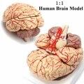 1:1 a Grandezza naturale Modello di Cervello Umano Con Le Arterie Anatomico Medico Organo Anatomia Umana Modello di Scuola di Formazione di Scienza Medica Insegnamento