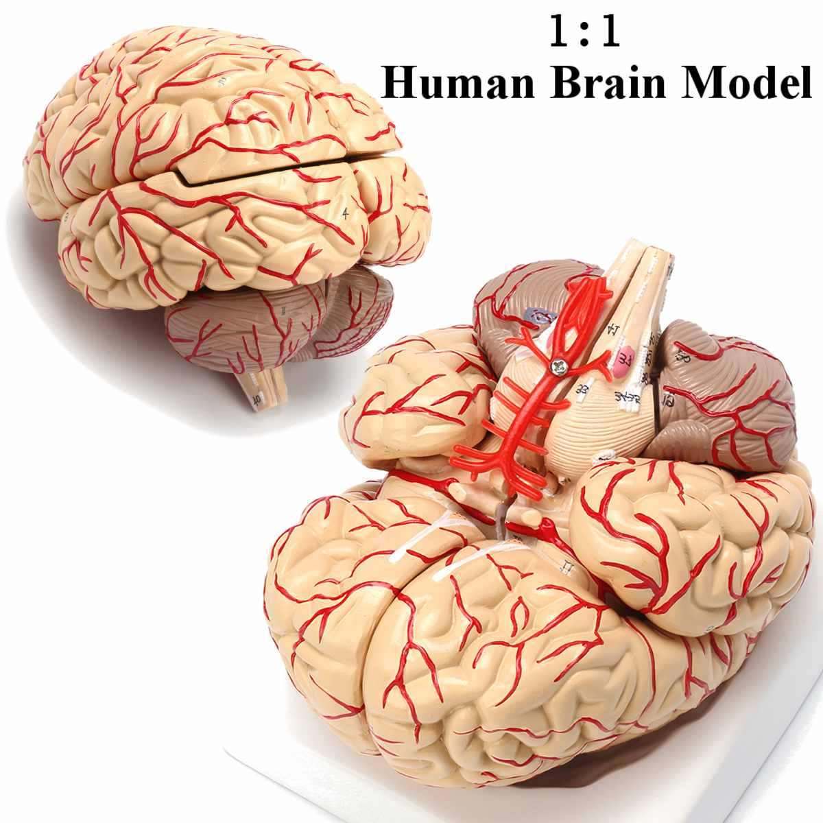 1:1 Đời Kích Thước Bộ Não Con Người Mẫu Với Động Mạch Giải Phẫu Học Y Tế Đàn Organ Mô Hình Giải Phẫu Học Giáo Dục Khoa Học Y Học Giảng Dạy