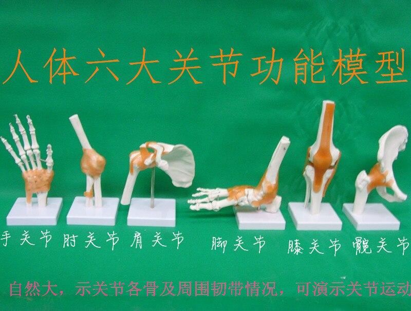 Squelette humain modèle 6 pièces joint squelette modèle Épaule, coude, poignet, hanche, genou et de la cheville modèle livraison