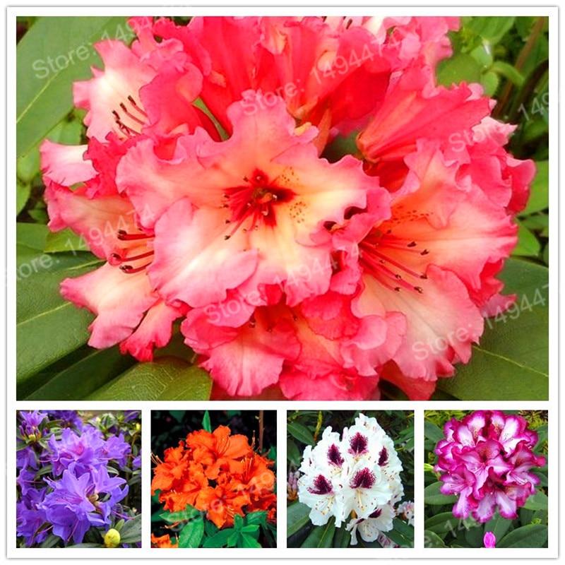200 шт./пакет Редкие Азалия сад Рододендрон Азалия Флорес карликовые деревья цветок plantas выглядит как Сакура японская Cherry цветет в горшках p