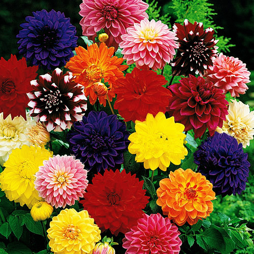 100 Pcs Dinner Plate Rainbow Dahlia Bonsai, Chinese Peony Bonsai Flower Plant ,22 Colors To Choose, For Home Garden Plantting