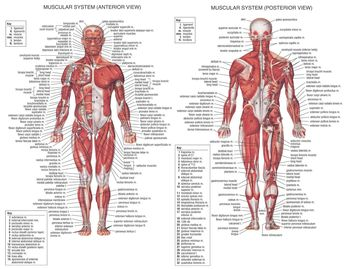 Muscle System Posters Silk Cloth Anatomy Chart Human Body School Medical Science Educational Supplies Home Decoration