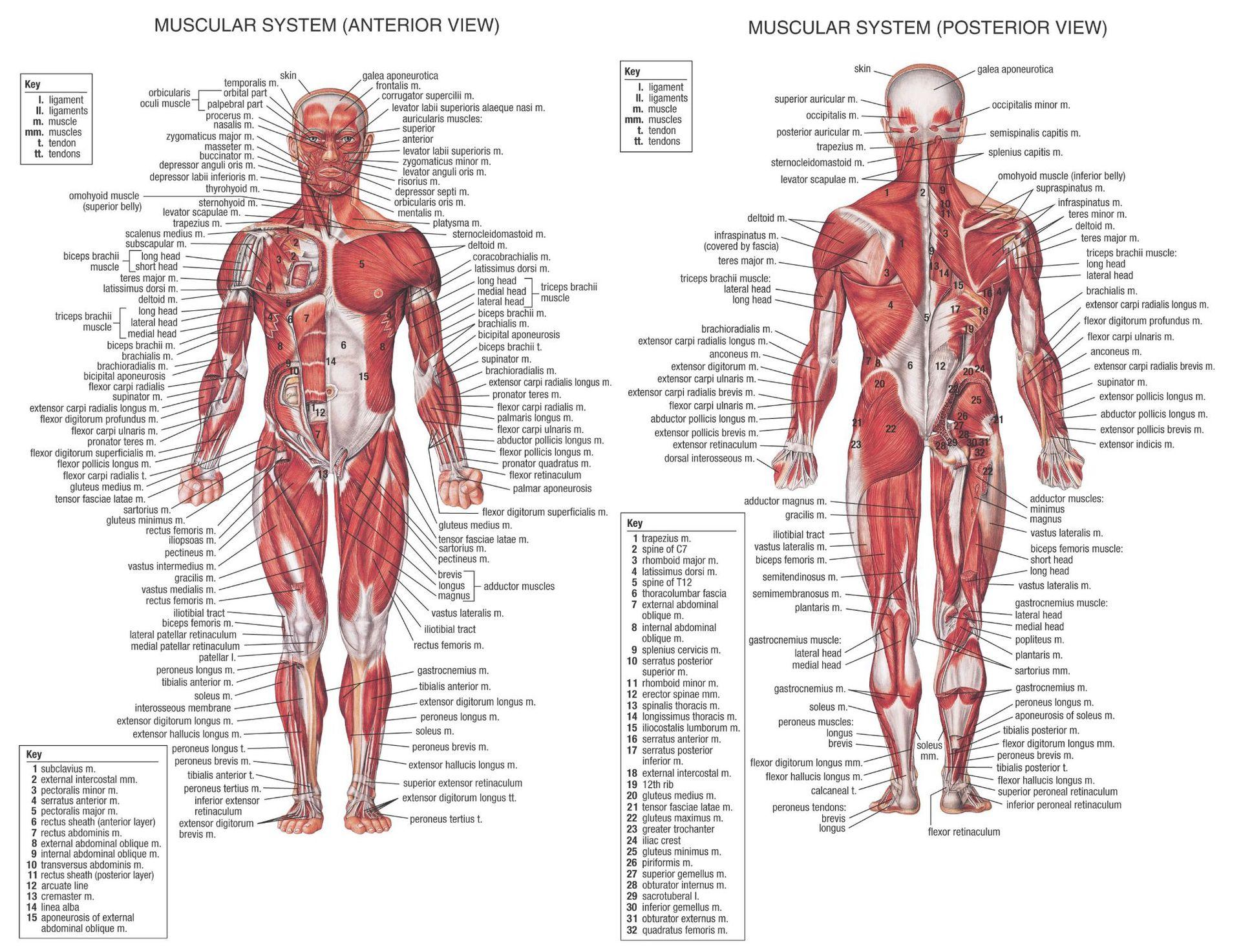 Tendência do sistema muscular humano cartazes de anatomia de seda gráfico corpo humano escola de ciências médicas suprimentos educacionais decoração para casa