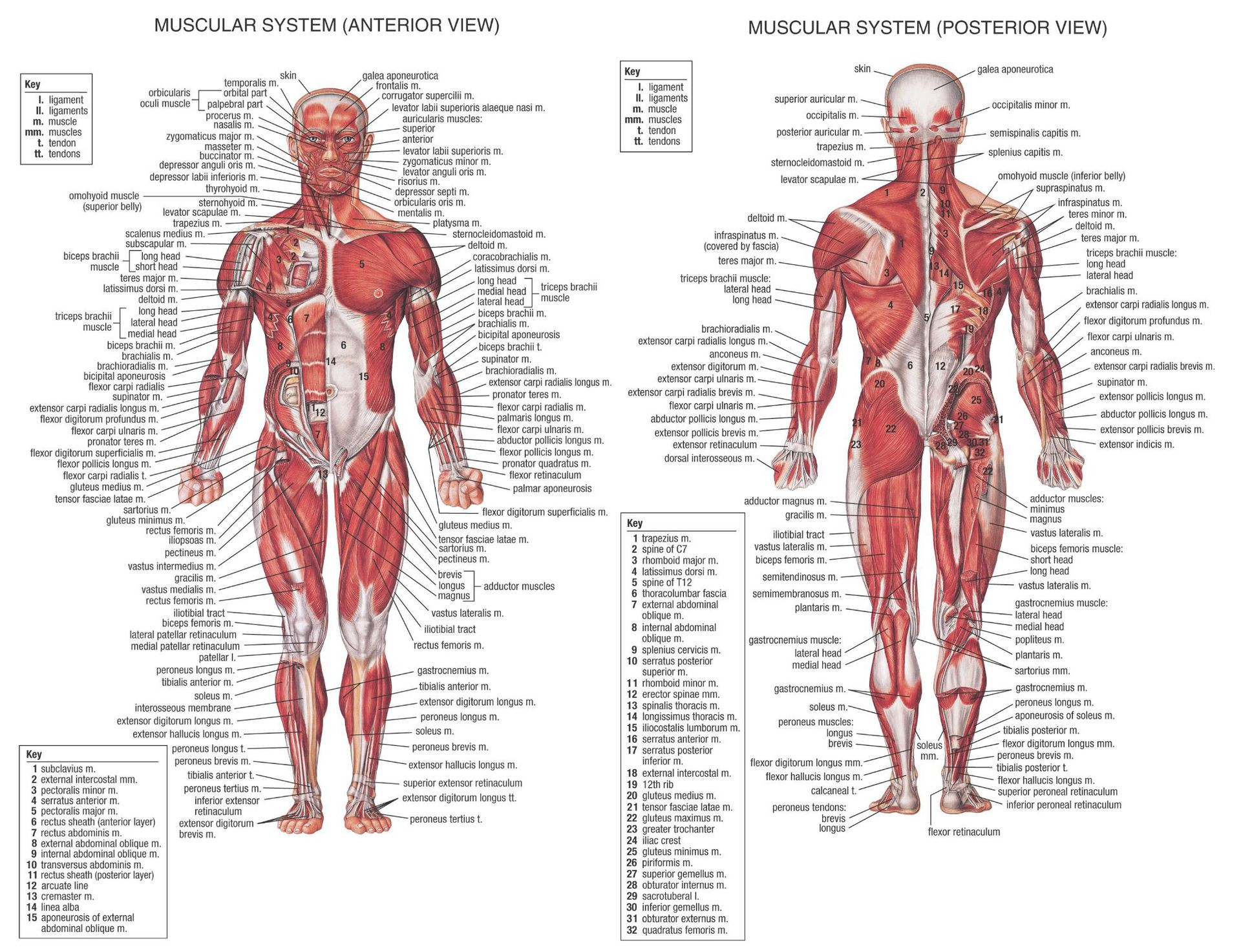 Trend Human Muscle System Posters Silk  Anatomy Chart Human Body School Medical Science Educational Supplies Home Decoration
