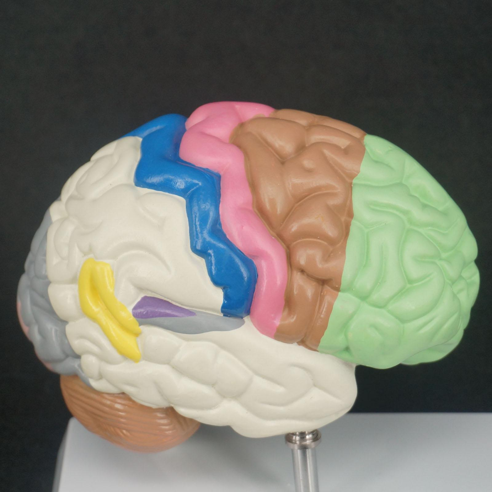 Color Human Brain Domain Anatomy Anatomical Model Right Brain Medical Function Educational Supplies Teaching Resources