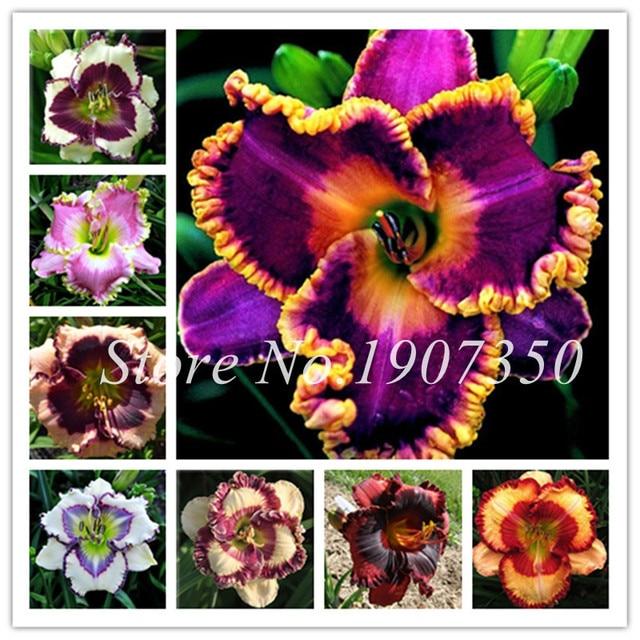 100 unids/bolsa fresco Bonsai Hemerocallis Middendorffii de lirios perenne de lirios de planta de flor día Lily belleza tu jardín