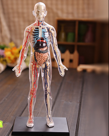 4D Master assembled medical human anatomy transparent body anatomical model