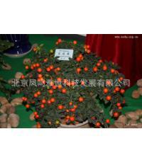 Благоприятный плод бонсай-пухлые и красивые, Evergreen, плодоношение многочисленные, высоко декоративное значение 100 шт.
