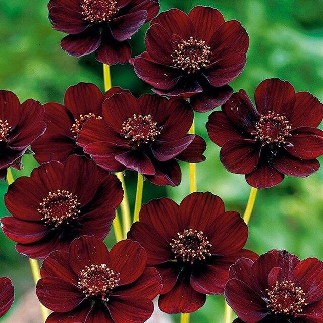 Nadir Çikolata Cosmos Çiçek bonsais-Blooms tüm yaz uzun ve zengin koku çikolata Ev Bahçe çiçek 30 adet (bo si ju)
