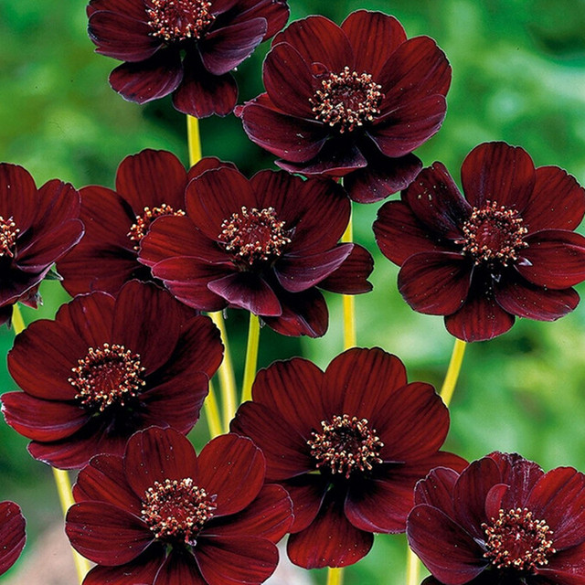 5a32d529 Rare Chocolate Cosmos Flower bonsais Blooms all summer long and has rich  scent like chocolate Home Garden flower 30pcs(bo si ju)-in Bonsai from Home  ...