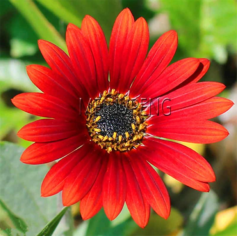 المهلة!! 100 قطعة وصول جديد زهرة بونساي ديزي بلانتاس ، نادرة زهرة أقحوان فلوريس بوعاء النبات لحديقة المنزل ، # WBO