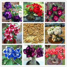 100% True Desert Rose seeds adenium obesum bonsai flower double petals potted plant brave Heart 2 pcs/bag