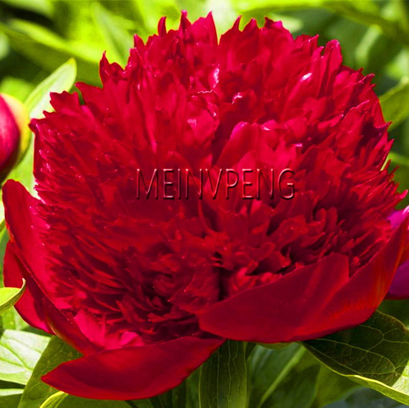 3L Pot Paeonia Coral Charm Double Peony Fragrant Perennial Plant