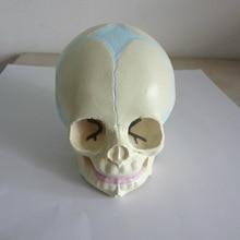 Teaching-Supplies Skeleton-Model Skull-Anatomy Fetal Human Medical-Science Baby Infant