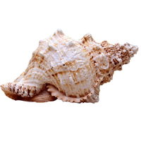 Natural Conch Shell Natural Large Frog Natural Family Decorations Marine Wind Mediterranean Ornaments Sea Snail Specimens Crafts