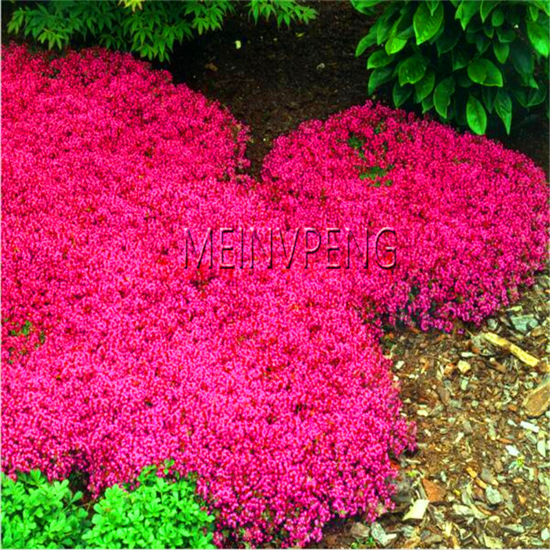 Подлинная! Чабрец обыкновенный бонсай или синий сурепка завод-многолетний растительный покров цветок, естественный рост для домашнего сад...