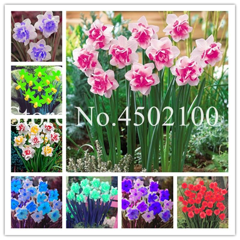 Stck 120 Stück Regenbogen-Narzissenblume, gemischte Zwergbäume (nicht Narzissenbirnen) Narzissenpflanze doppelt eingemachte Blütenblätter Diy Home Garden Pla