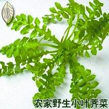 4 Seasons Pea Leaf Shepherd s Purse bonsai Kernels Healthy Vegetables Garden Terrace Potted Vegetable 100pcs