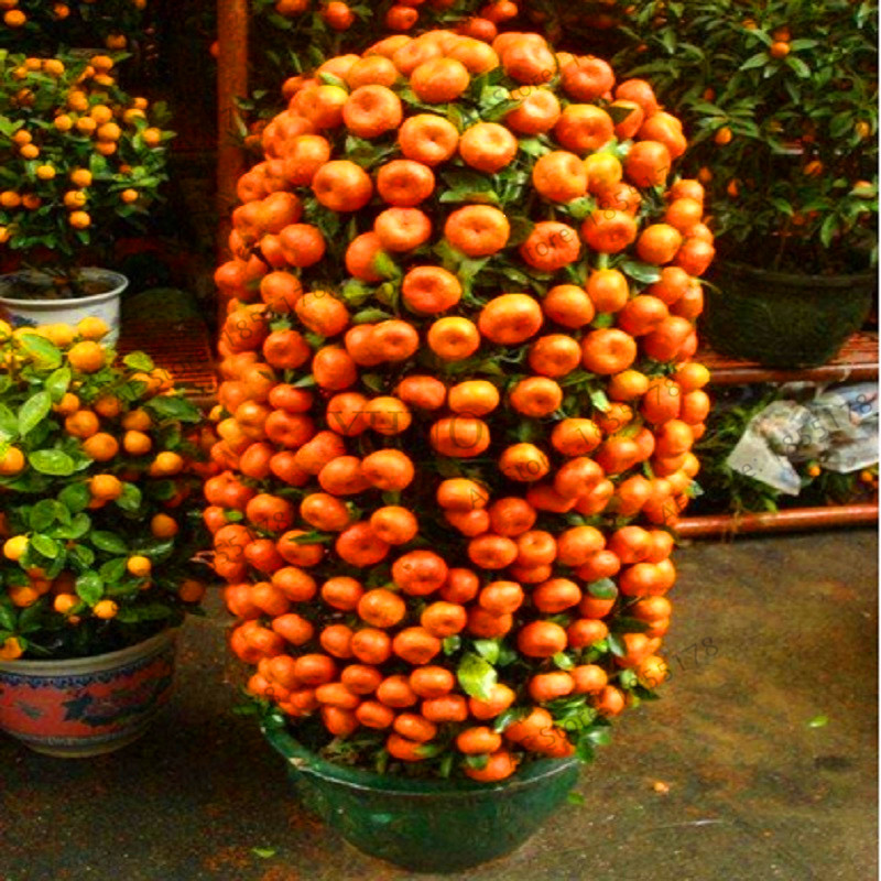 Big Promotion Mandarin Orange Dwarf Bonsai Indoors Outdoors Fruit Tree 10pcs AA VRSV3U