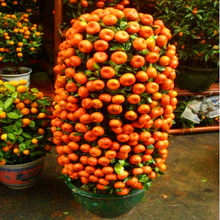 Big Promotion!Mandarin Orange Dwarf Bonsai Indoors Outdoors Fruit Tree 10pcs+ AA ,#VRSV3U(China)