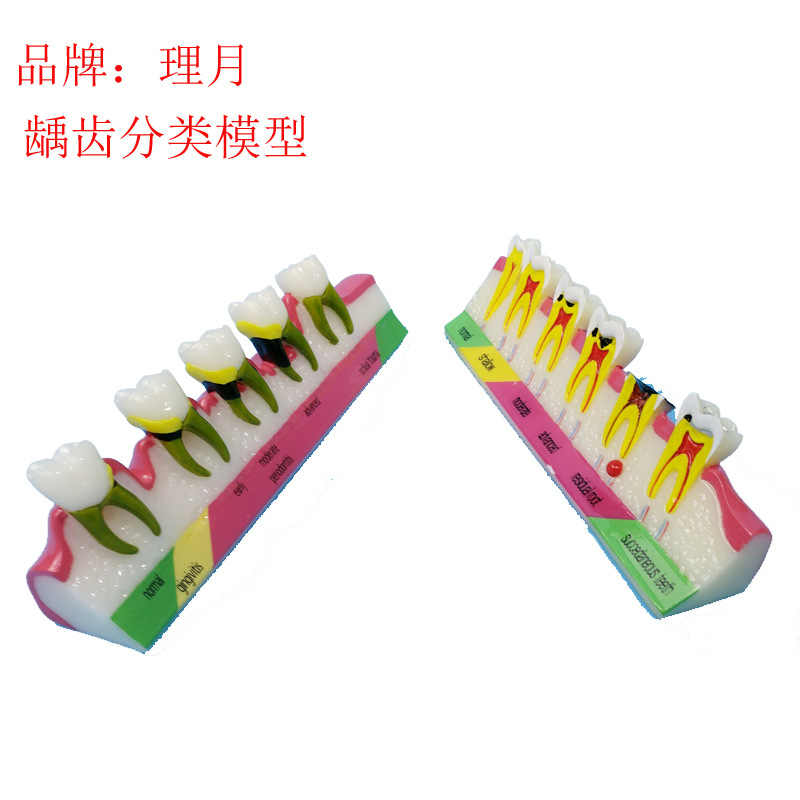 Modelos de dientes bucales humanos modelo de anatomía de dientes humanos modelo de dientes anatómicos médicos modelos anatómicos suministros de enseñanza de dentista