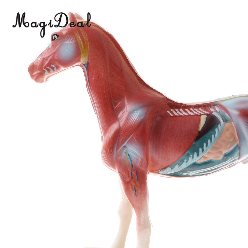 US $23 84 29% OFF|PVC Material 114 Acupuncture Points Horse Anatomical  Model Educative Learning Aid Lab Equipment School Teaching Tool Toy-in  Model