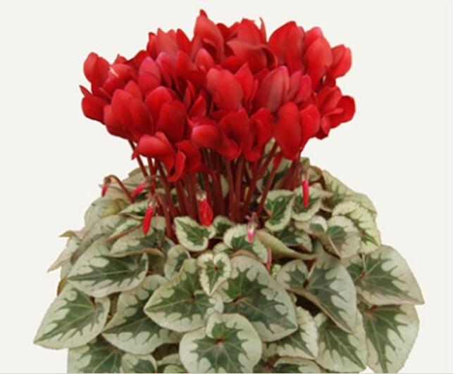 Сезоны многолетний цветок bonsais цикламен-20 шт.