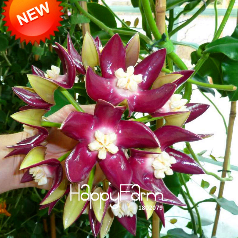 New 2018!Home Bonsai Garden Rare Hoya Orchid,Hoya Carnosa Plant Orchid Flower Flores Series 100 PCS/Package,#17OUOF