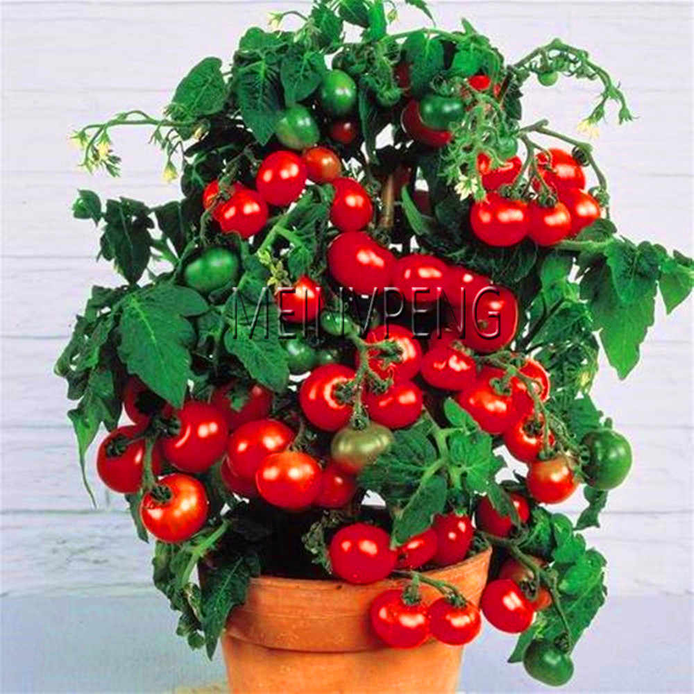 Time-Limit!!Milk red tomato bonsai, cherry tomato plant organic fruit and vegetable ourdoor plant for home garden 100 pcs/bag