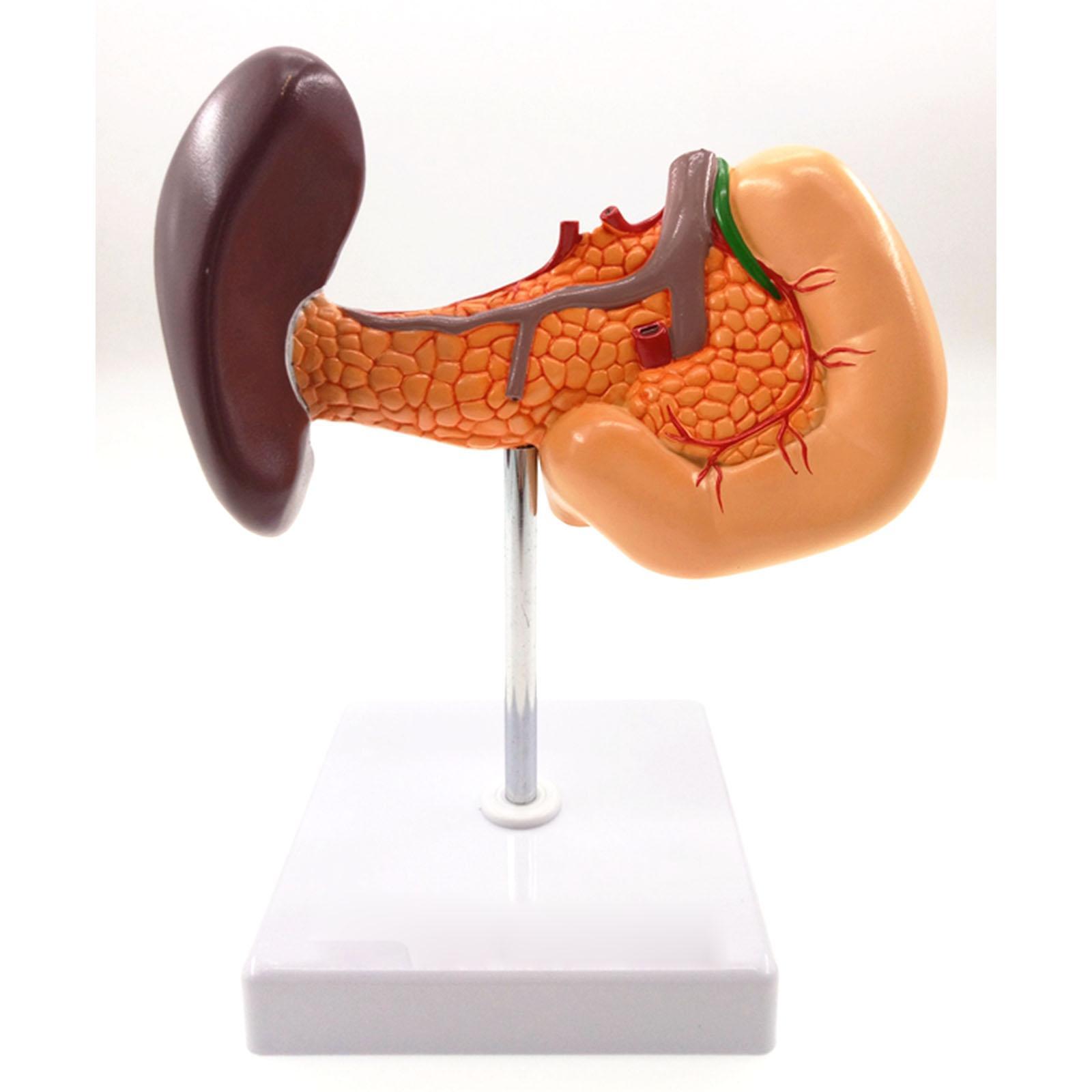 Pancreas Spleen Gallbladder Liver Duodenum Human Body Anatomy Medical Model Life Size 1:1 Teaching Resources