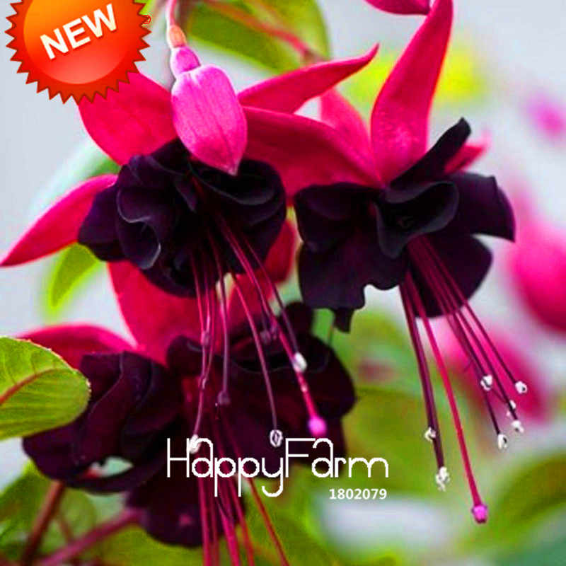 New Arrival!Purple Double Petals Fuchsia bonsai Potted Flower garden Potted Plants Hanging Fuchsia Flowers 100flores/Lot,#HQ5X17