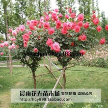 100 Red Rose tree bonsais, DIY Home Garden Potted ,Balcony & Yard Flower Plant