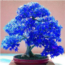 Real Japanese Ghost Blue Maple bonsais Rare Balcony Bonsai Tree plants for home garden 20 pcs Free Shipping(China)